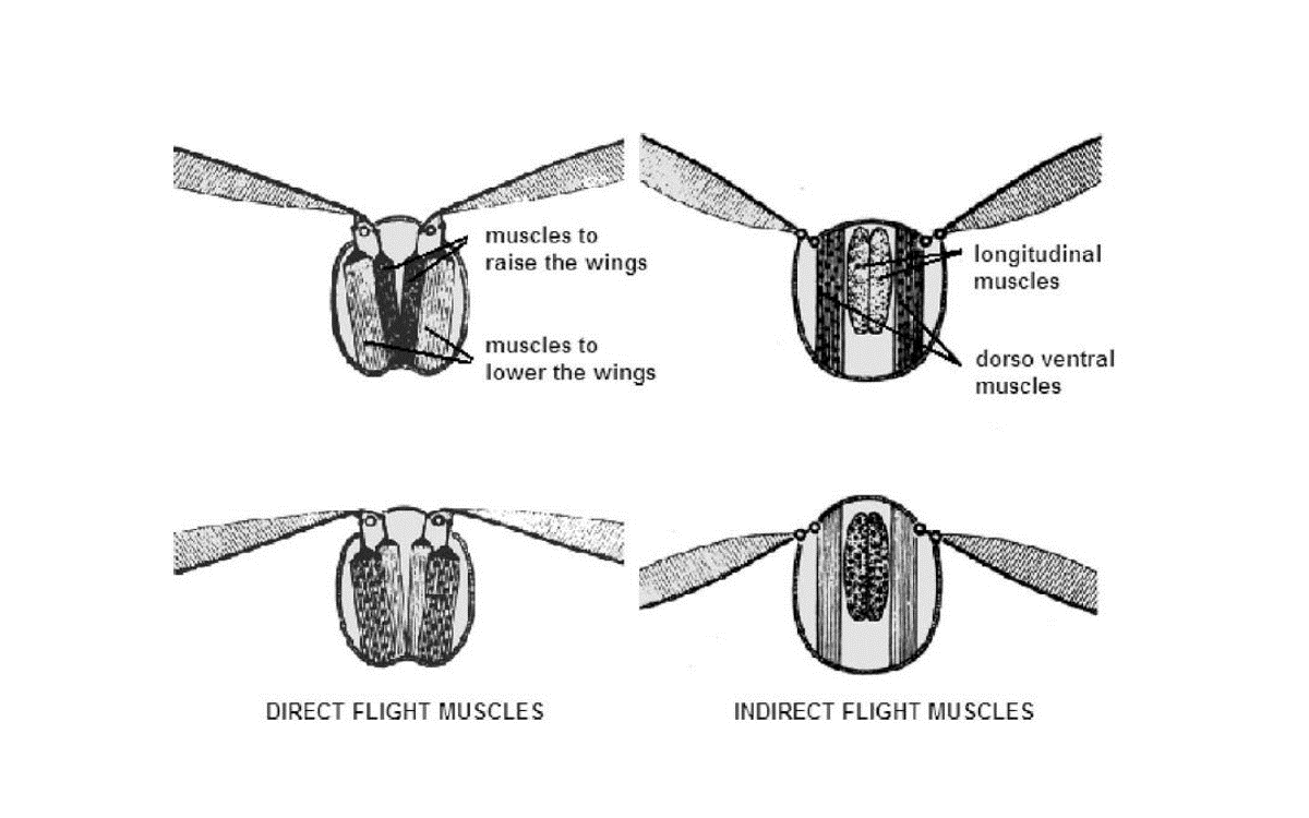 Flapping mechanism in insects